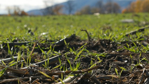 Cover crop growing on farm field