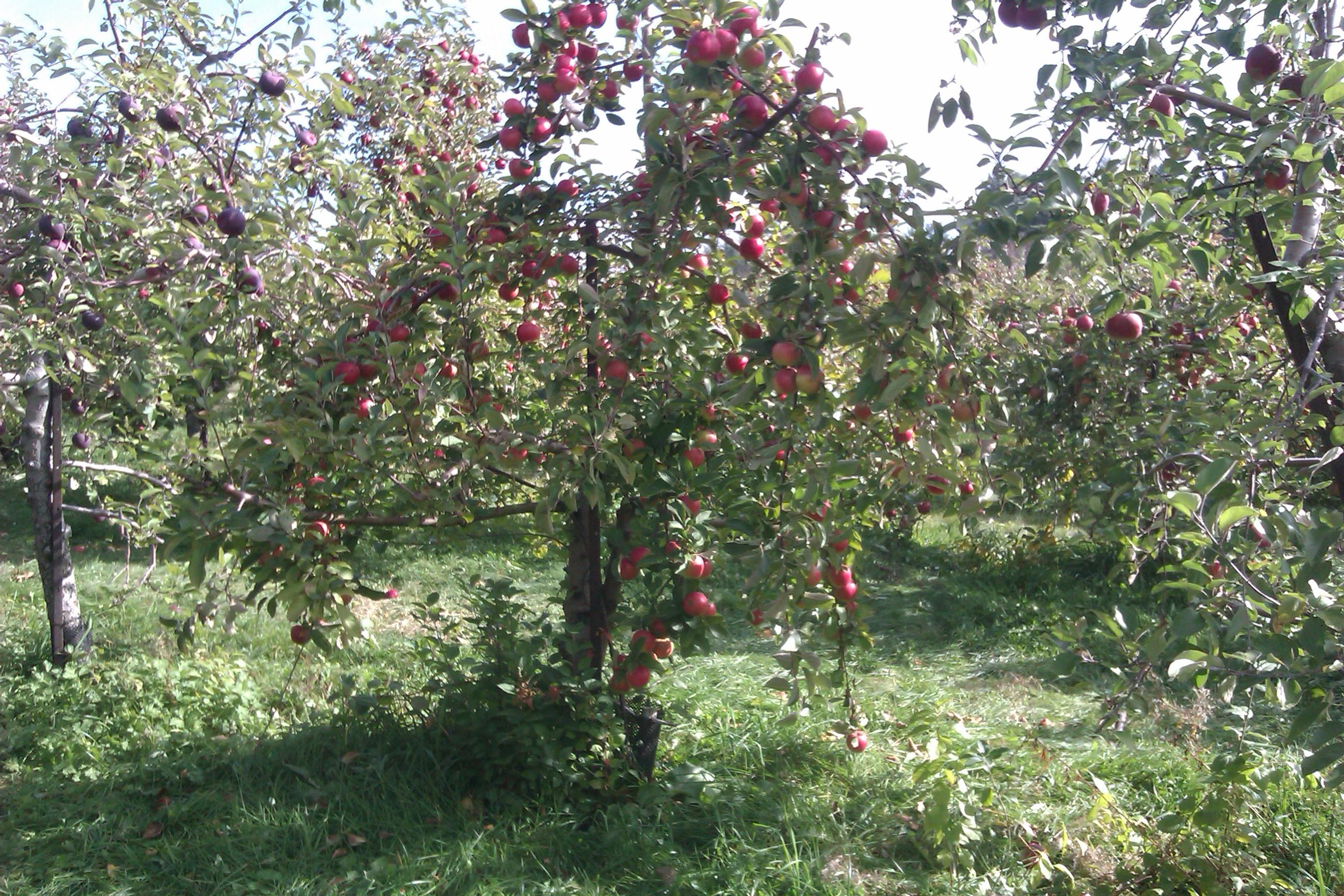 Applecrest 8