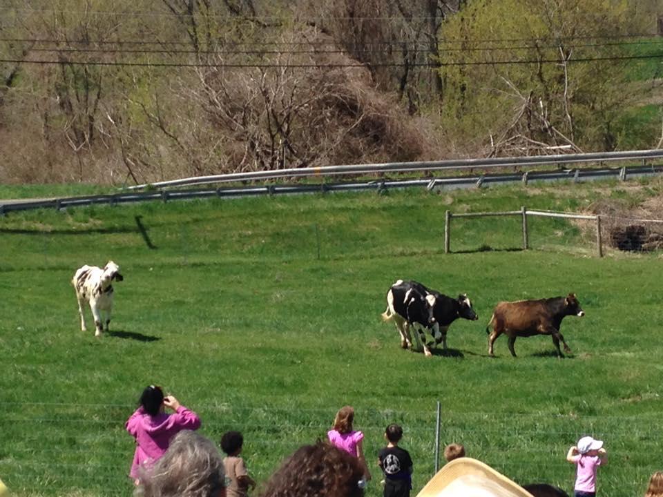 Barstow's Longview Farm dairy cow pasture