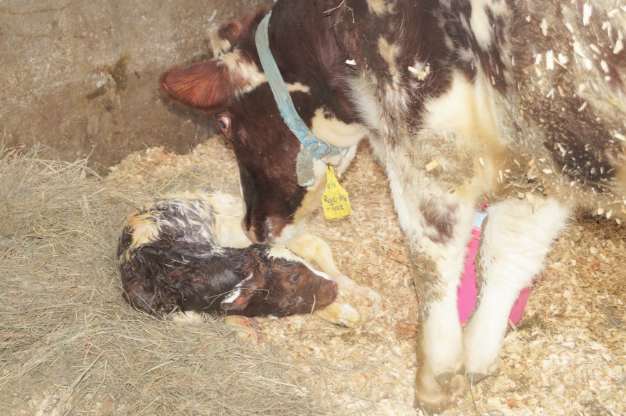 Right after birth, the cow stimulates her calf to breathe by cleaning it off.  Raz-ma-taz will clean her calf so that it will dry off.  The average calf begins to try to stand within 20 minutes and will be fully standing within hours