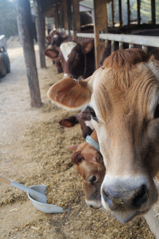 Our cows eat about 90 lbs of feed per day and we will push the feed closer at least 4 or 5 times between milkings.  This stimulates the cows to get up and eat more often which is essential for their health and well-being.  The average cow uses the same amount of energy to produce milk in one day as it would take a man to run two consecutive marathons. Talk about needing to carbo-load!