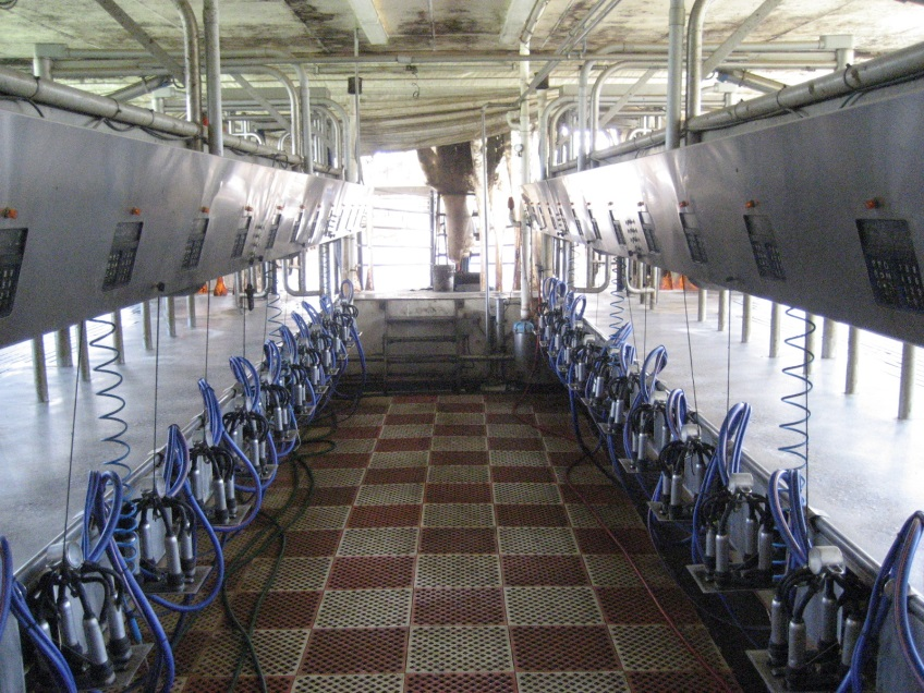 This is a milking parlor.