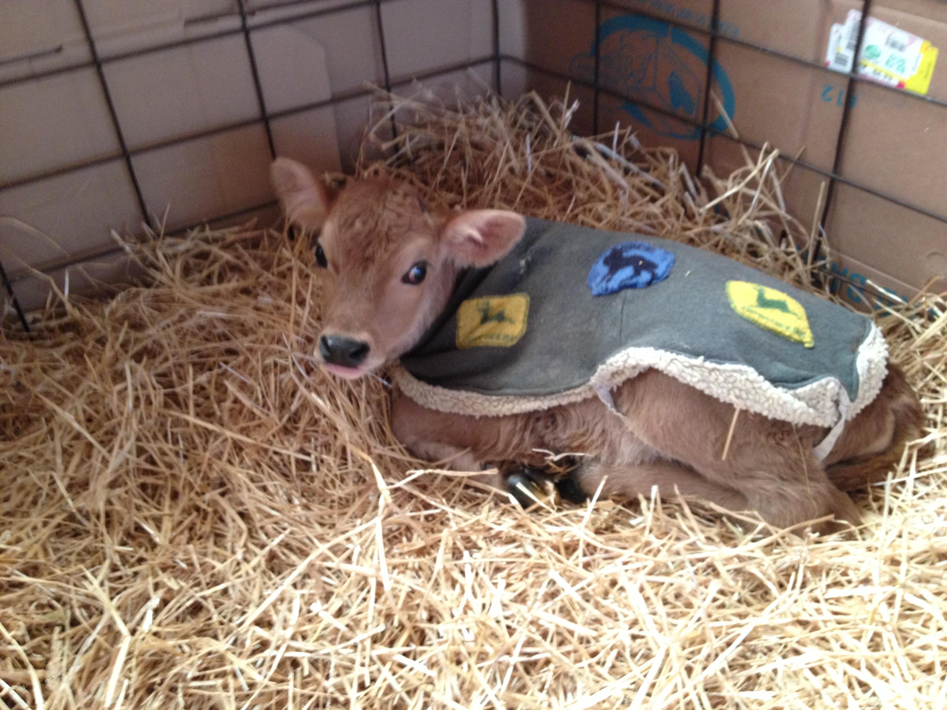 calf in fleece coat winter