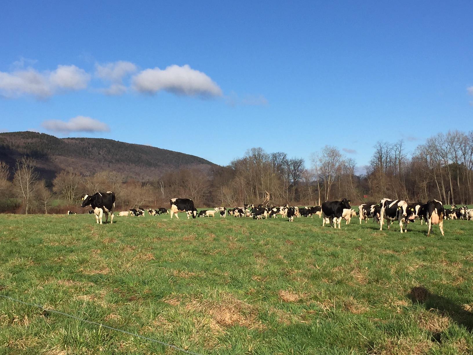 Freund's Farm cows pasture